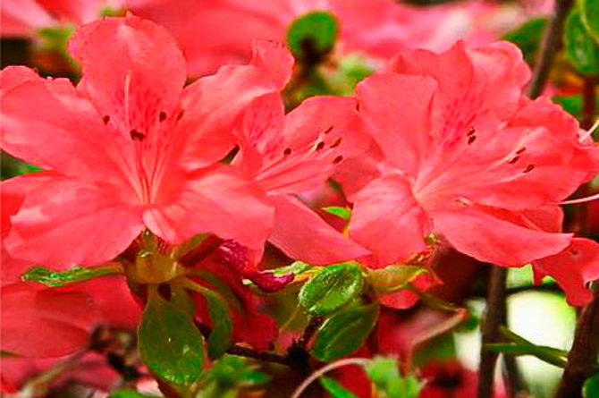 Rhododendron (Азалия) Addy Wery